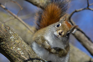 Curious Young Squirrel by ceruleankangaroo