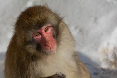 Snow Monkey by ceruleankangaroo