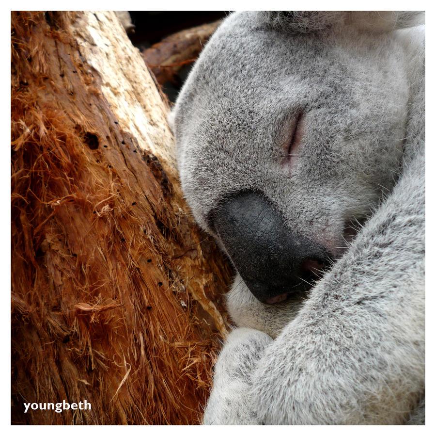 Koala by youngbeth