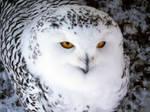 Snowy Owl -3-