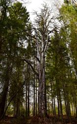 Pekan puu