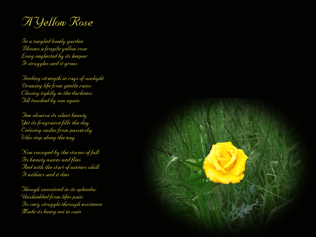A Yellow Rose Poem Wall