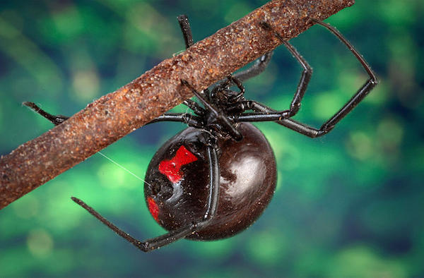 Female Black Widow Spider by BlackWidow099
