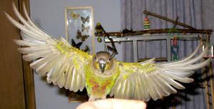 Greencheek in flight 13