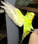 Budgie in flight 21