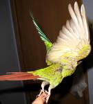 Greencheek taking off