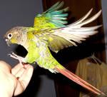 Greencheek in flight 1