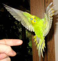Budgie in flight 4 by greencheek