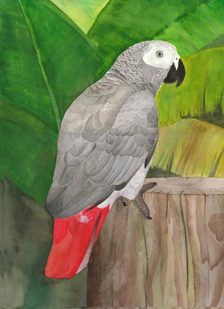 african parrots