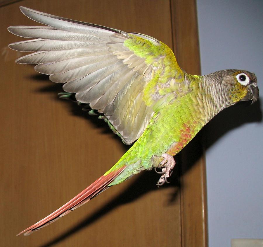 Greencheek in flight 9