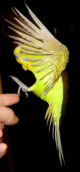 Budgie in flight 6