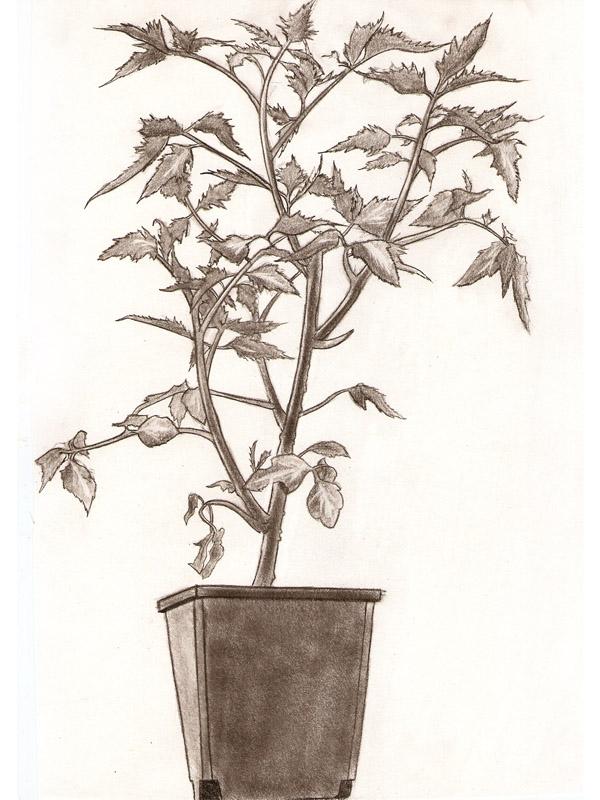 Tomato Plant by Ziddius
