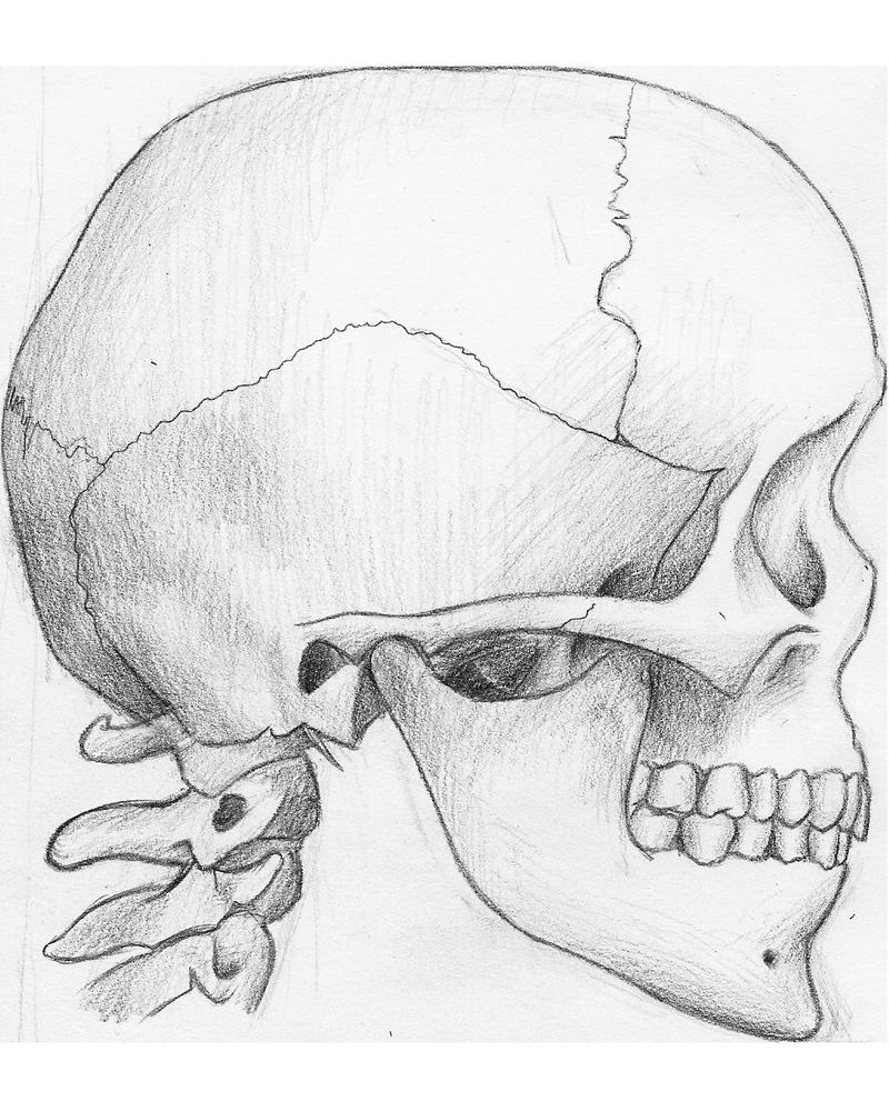 Skull side view by Ziddius on DeviantArt