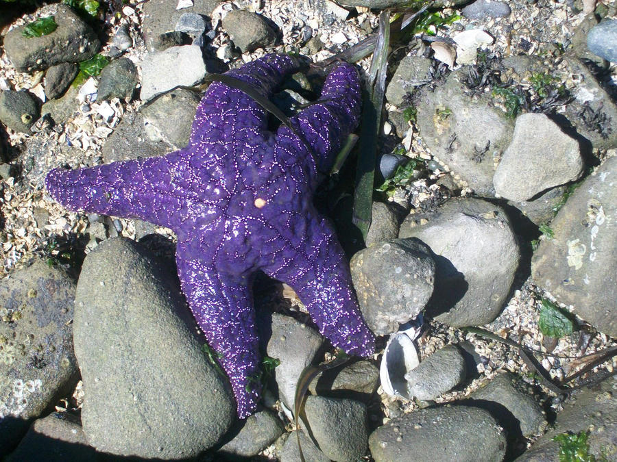 Purple Starfish by OharaDemon
