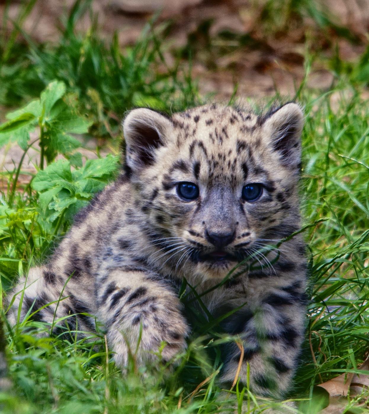 Snow Leopard Cub 3 by Reto
