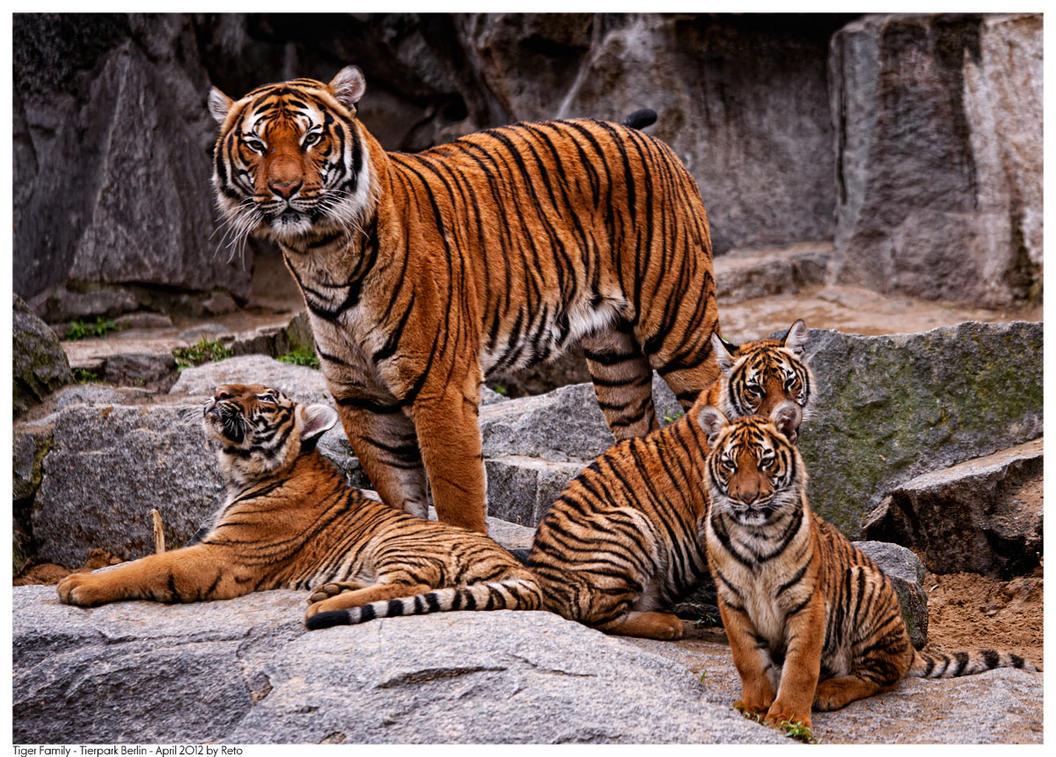 the characteristics of the tiger a feline carnivore species Examples of carnivorous animals include these animals are known as obligate carnivores all cats between genus and species q: what characteristics do all.