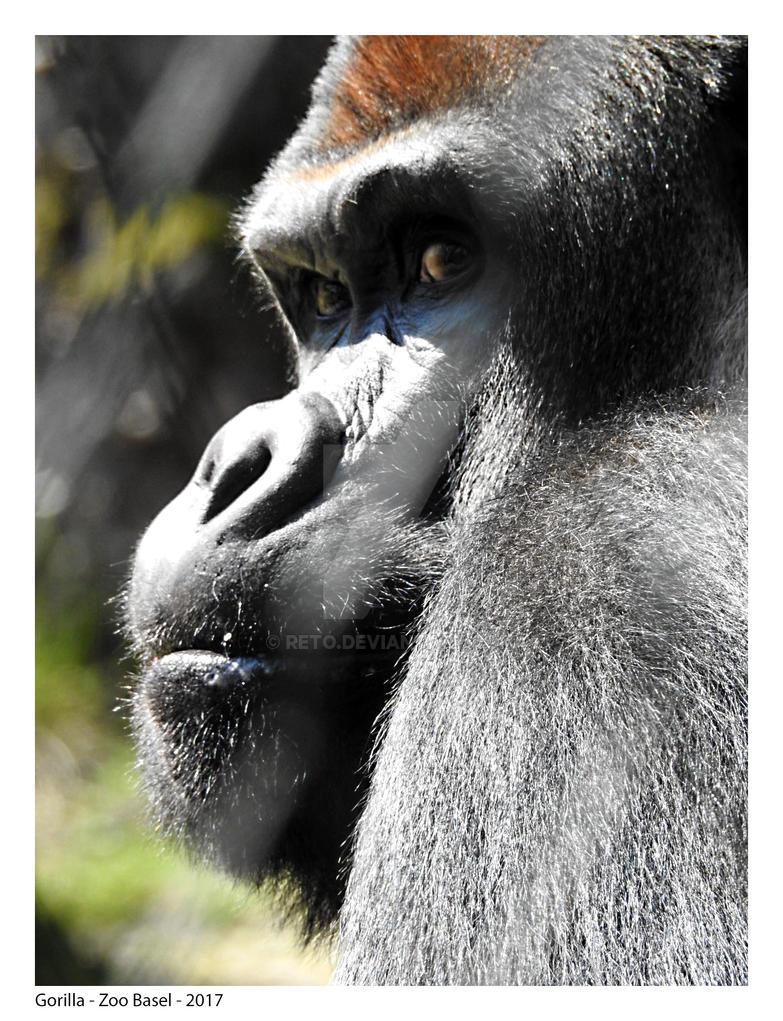 Gorilla by Reto