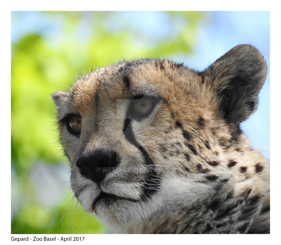 Gepard by Reto
