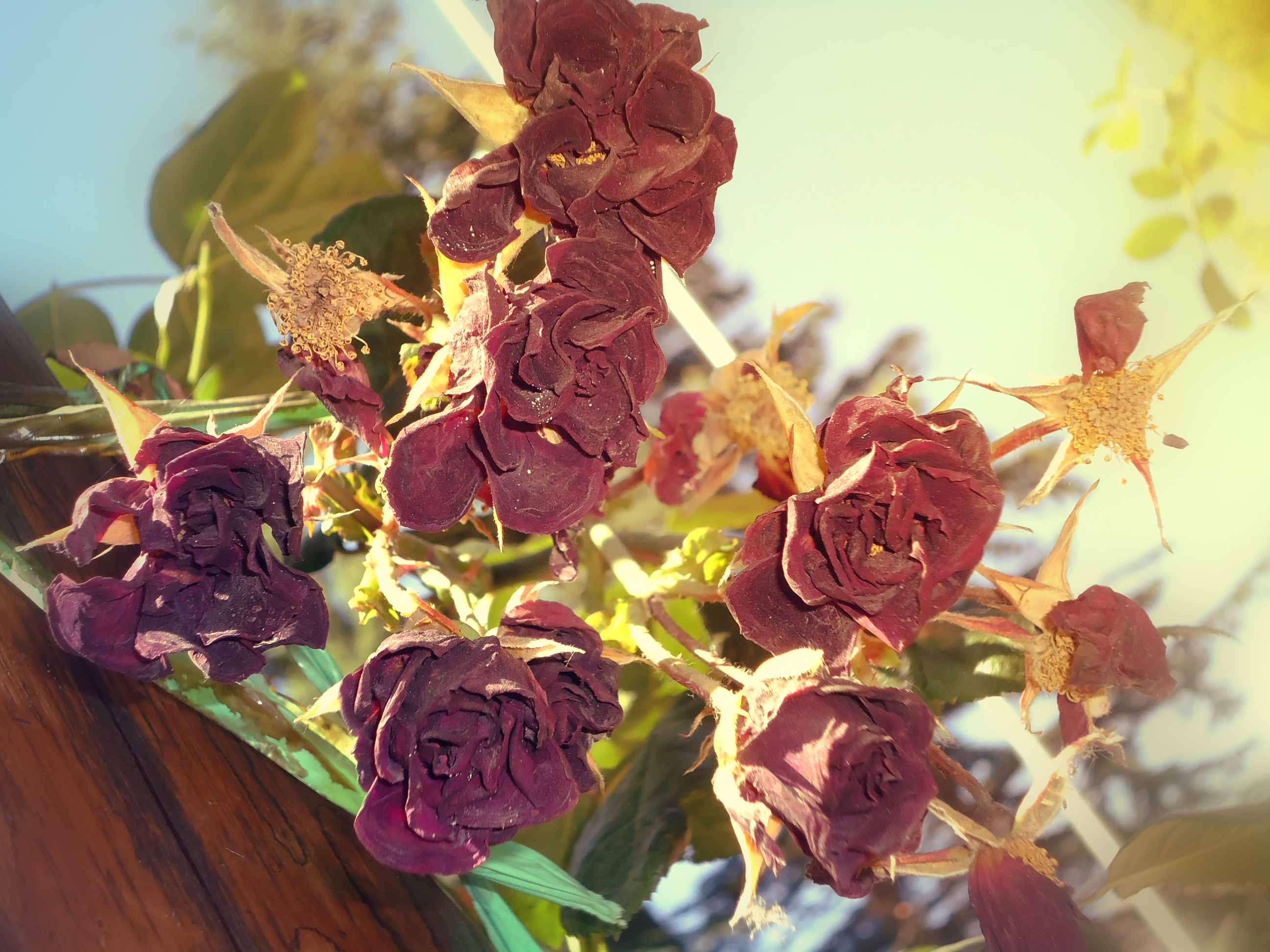 Dead Roses By Mirix10