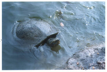 Turtle by brownystock