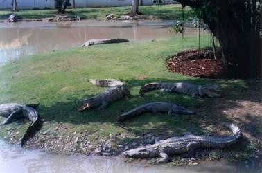Crocodile by brownystock