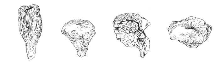 Cnemidiastrum stellatum by nayialovecat