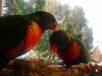 Rainbow Lorikeets having a feed by Laladarling