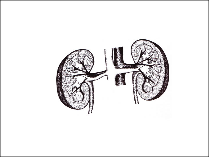 Kidneys by the-vibrant-city