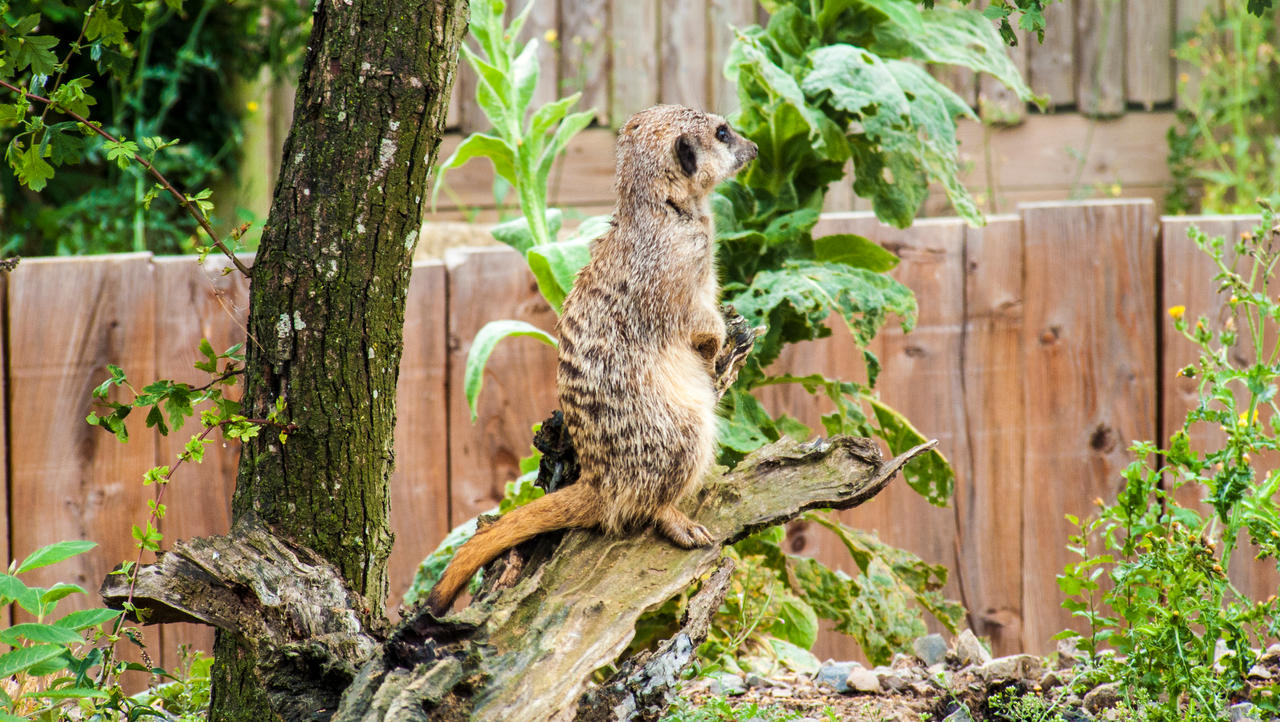 Marwell Meerkat 1 by Sklarlight