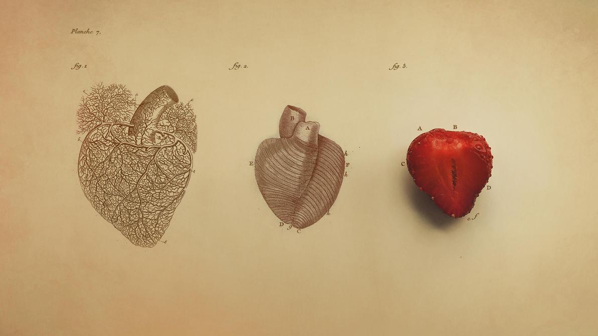 Anatomy of Heart by Niux on DeviantArt