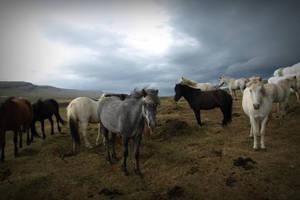 Icelandic horses by xxjaCkii