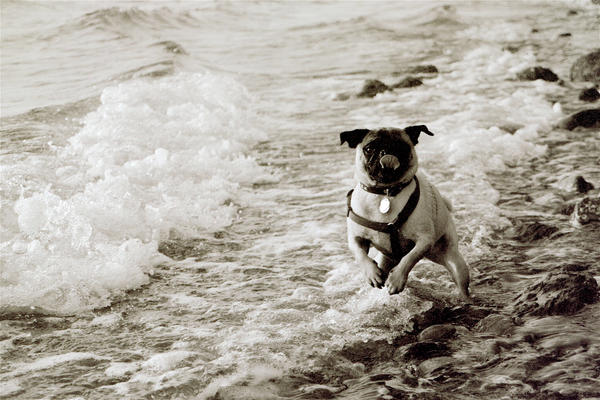 Pug at the Beach by Sparkyredboy