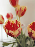 tulipan by freezinka