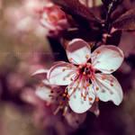 .sakura