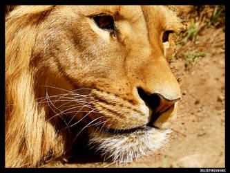Lion by xsleepingswanx