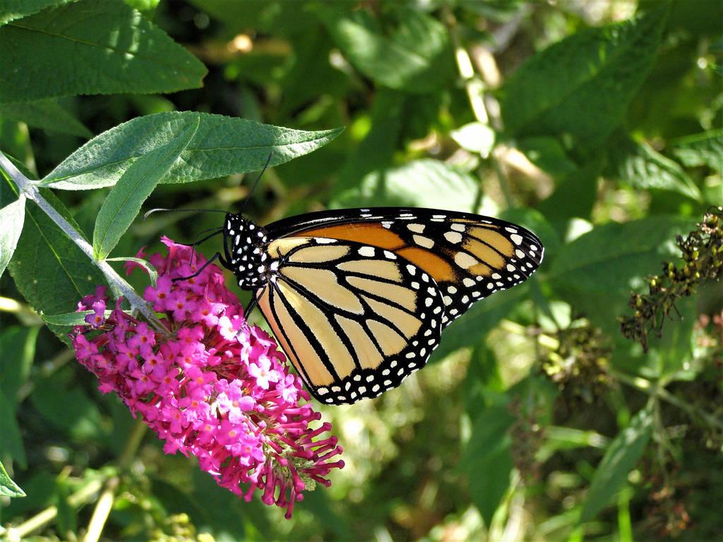 Monarch taking a break by professorwagstaff