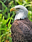 Beautiful Bald Eagle by professorwagstaff