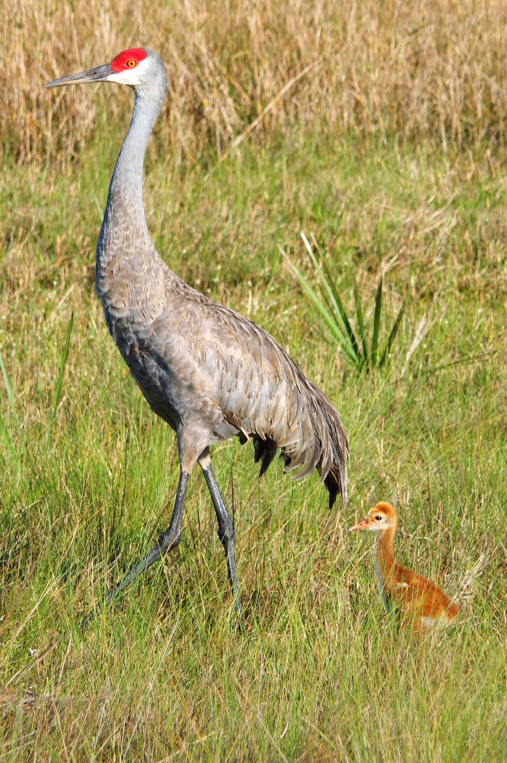 Sand Crane Mom and Little One by professorwagstaff
