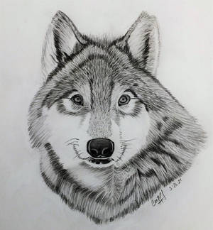 Wolf # 3 in pencil