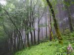 Misty Woodland 3