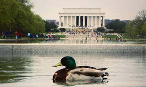 The Lincoln Memorial Duck by pigs-fly
