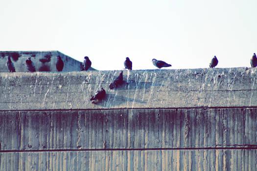 Pigeon Meeting