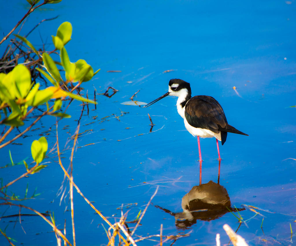 Black necked stilt by deviantbluebug