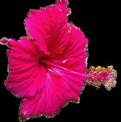 Hibiscus GIMP Brush