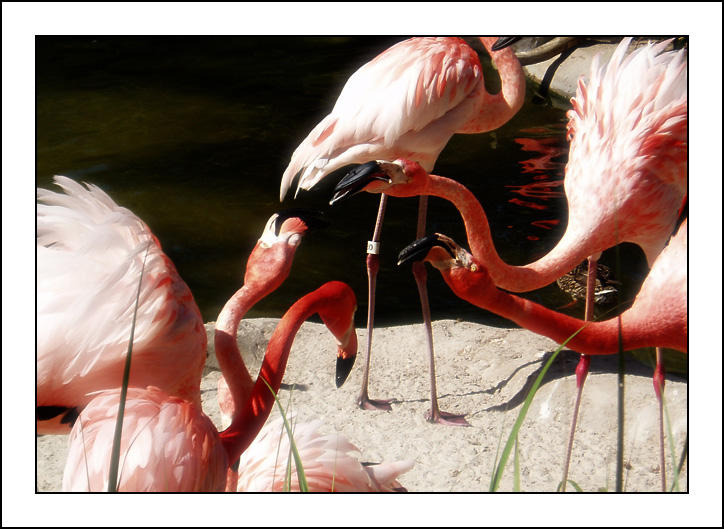 Flamingo Disagreement by Fukfire