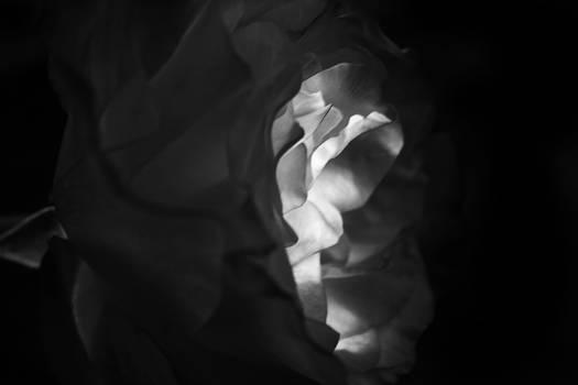 Rose BW