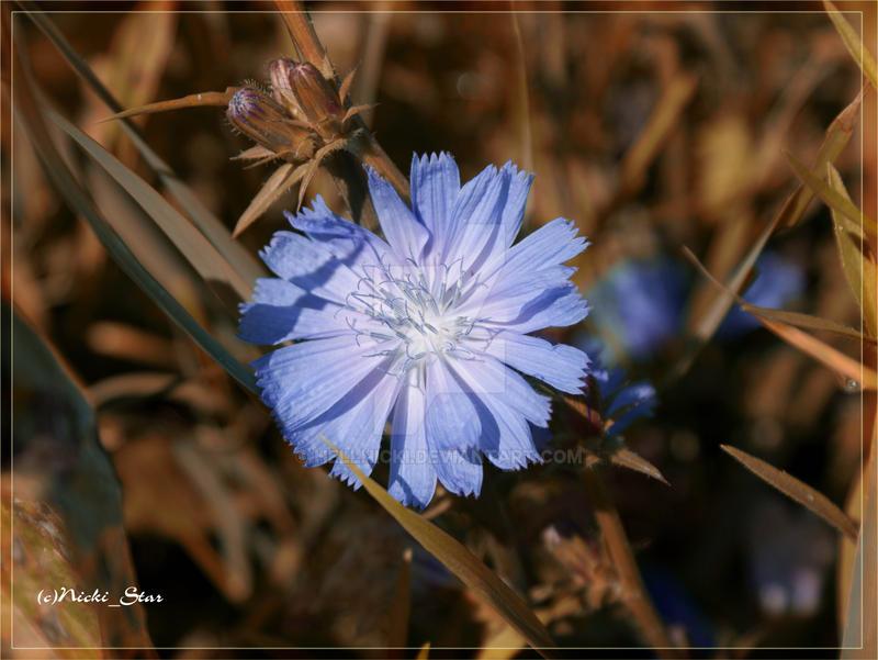Chicory by hellnicki