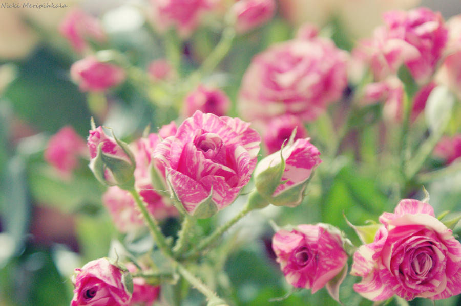 Rose by hellnicki