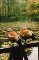 Ducks by hellnicki