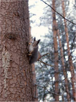 Squirrel by hellnicki